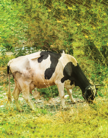 Cow eating glass in the farm Imagens