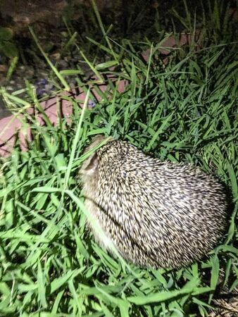 hedgehog isolate background in the grass