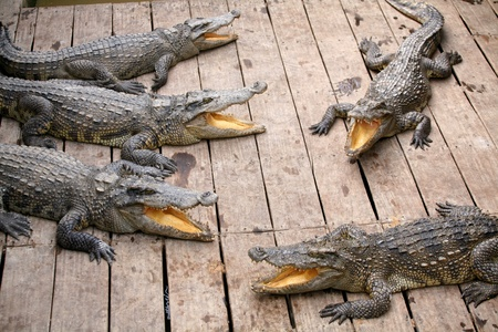 Crocodiles with yellow tongues Stock Photo