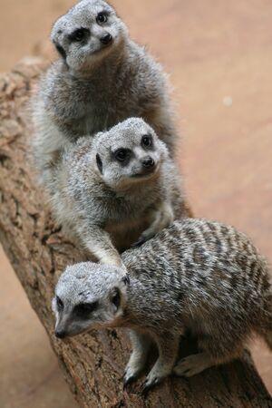 Meerkats on the timber Stock Photo