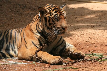 Chained Tiger sits on the ground photo