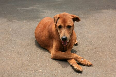 Isolated Old Dog crosses its legs Stock Photo - 10342705