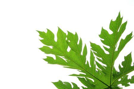 papaya tree: Texture: Isolated green papaya leaf with white background