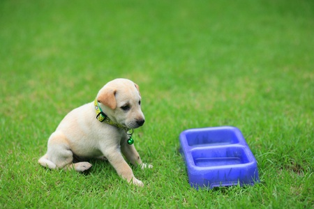 Adorable brown puppy is waiting for food at the grass field