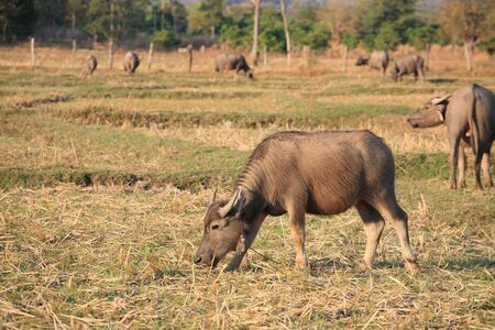 Agriculture background: buffaloes eating grass in the field Stock Photo - 12105350