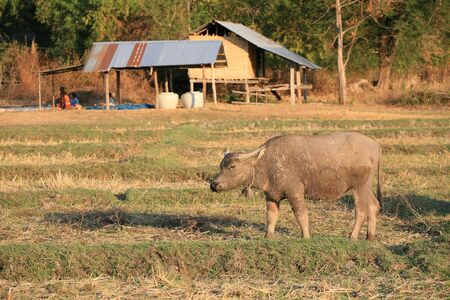water buffalo: Agriculture background: single buffalo standing on the field with farmer house behind