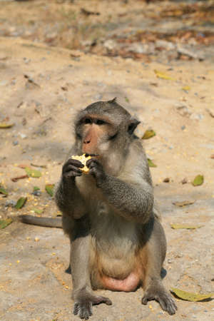 Animal background: Macaque monkey eating corn on the ground Stock Photo - 12305719