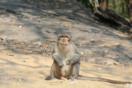 Animal background: Macaque monkey siting and staring on the ground Stock Photo - 12305721