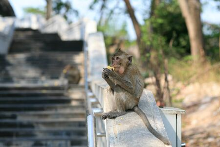 Macaque monkey eating corn on the banister Stock Photo - 12685769