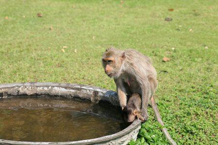 Macaque monkey  mother holding baby to drink water on the basin Stock Photo - 12858260