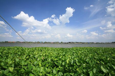 nonthaburi province: Floating water hyacinths on Chao phraya river against blue sky at Nonthaburi province, Thailand Stock Photo