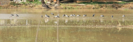 Group of cranes grazing on the water grass field photo