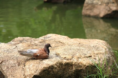 Brown pigeon sitting on a rock near green pond photo