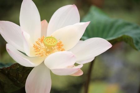 Closeup lotus blossom in the garden Archivio Fotografico