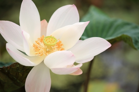 Closeup lotus blossom in the garden photo