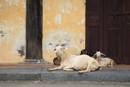 Mother goat and its childs sitting in front of the wall photo