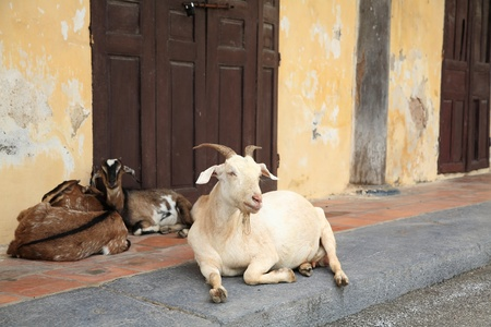 Mother goat and babies sitting near the wall photo