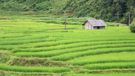 A house on green terraced rice fields at Red Dao Ethnic Minority in Sapa, Vietnam  photo