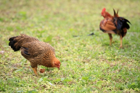 Chicken eating on the grass field