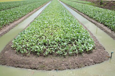 irrigated: Cabbage farm with ditch to be irrigated Stock Photo