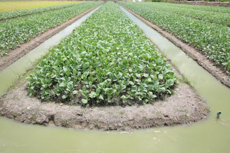 irrigated: Cabbage farm with water on ditch to be irrigated