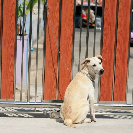 tether: A young dog tied by metal chain on the gate to prevent visitors to be bitten