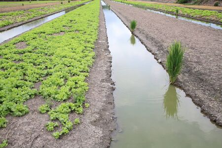 Ditch farm of lettuce and rice  photo