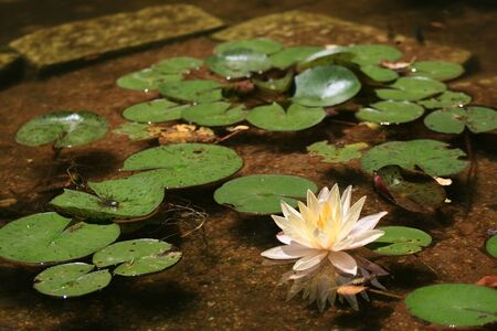 Pink water lily and leaves on the pond Stock Photo