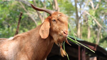 Brown goat eating long green pea  photo
