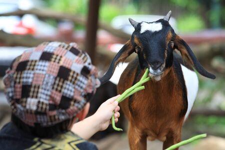 child feeding vegetable to baby goat Stock Photo - 15818760