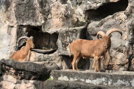 West caucasian tur goat on the fake hill at  Kaokeaw zoo in Chonburi photo