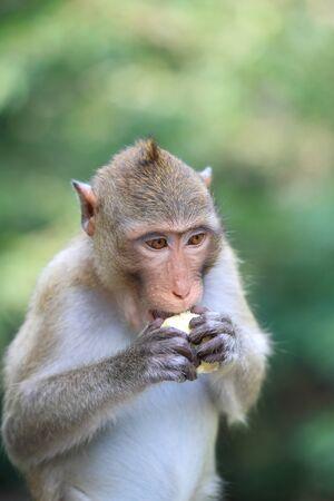A Monkey eating corn Stock Photo - 15818765
