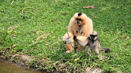 Brown Gibbon mother and kid sit together near the pond Stock Photo - 15818918
