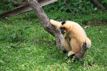 Brown Gibbon sitting on the tree Stock Photo - 15818873