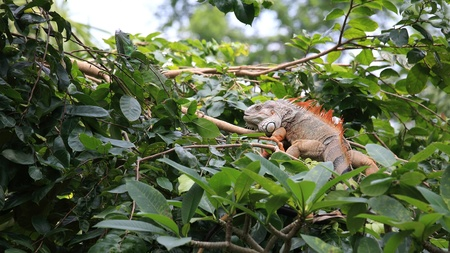 Big red iguana stands on the tree photo