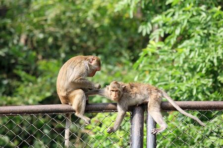Two monkeys plucking fur and louse on metal fence Stock Photo - 15818817