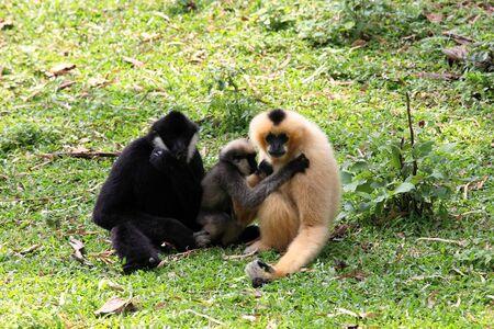 Gibbon family sitting on the grass Stock Photo - 16567993