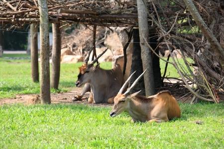 Duiker deers sitting on the grass field Stock Photo - 16117632
