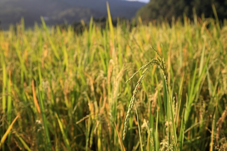 Ripe paddy rice at the field  photo