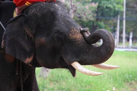 Adorable elephant bending its tusk Stock Photo - 16500212