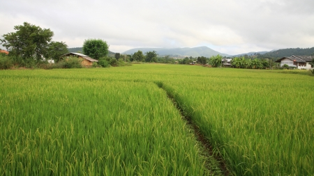 Rural scenic of paddy rice field with footpath in the valley photo