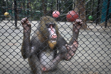 Sad mandrill grabs a cage  Stock Photo - 17087188
