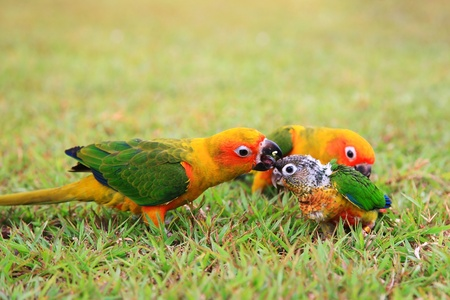 Sun Conure parrot birds  parent taking care of a baby on the grass photo