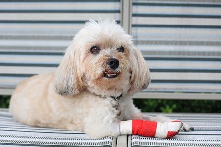 Injured Shih Tzu wrapped by red bandage on front leg
