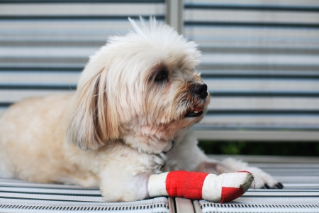 Injured Shih Tzu leg wrapped by red bandag Stock Photo