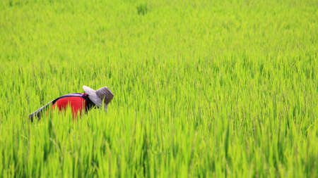 Thai farmer reaping harvest rice farm in Chiang Mai, Thailand photo