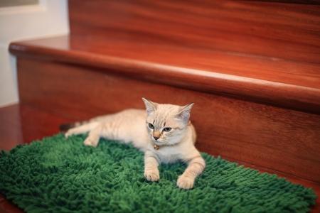 green carpet: Kitten or cat relaxing on green carpet