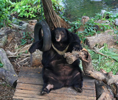 Asiatic black bear relaxing and playing old hanging tire