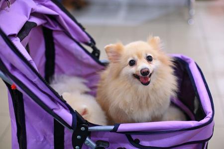 ベビーカーを見つめて小さなポメラニアン犬