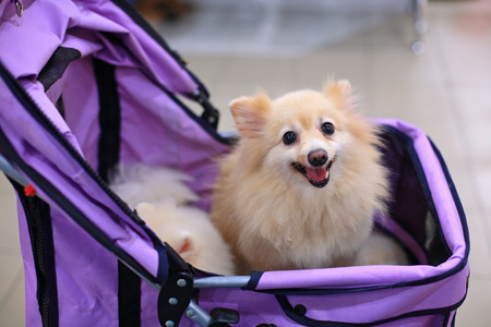 Small pomeranian dog staring on the stroller Stock Photo
